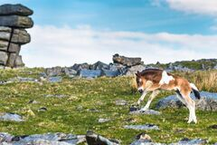 Free Dartmoor Pony Foal In Front Of Great Staple Tor Royalty Free Stock Photography - 170336197