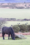 Dartmoor Pony Grazing. Black Dartmoor pony grazing near a rock on Dartmoor against a backdrop of cows in a lower field Royalty Free Stock Photography