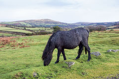 Dartmoor Pony Grazing Stock Photography