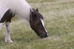 Dartmoor pony grazing. On grass Royalty Free Stock Photo