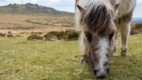 Dartmoor pony grazing grass on the moors Stock Images