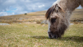 Dartmoor pony grazing grass Royalty Free Stock Photo