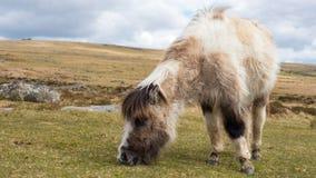 Dartmoor pony grazing. A wild dartmoor pony grazing grass on the moors Royalty Free Stock Photo