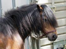 Dartmoor pony by horse trailer Royalty Free Stock Image