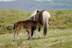 Dartmoor pony male foal sucking from mother Stock Image