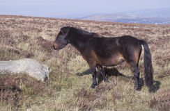 Dartmoor pony Royalty Free Stock Photos