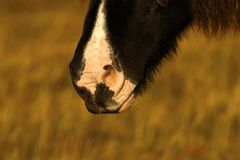 Dartmoor pony muzzle. Dartmoor pony close up his muzzle near the ground Royalty Free Stock Photos