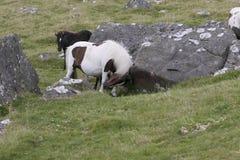 Dartmoor Pony rubbing neck against rock. Dartmoor pony rubbing neck against granite rock Stock Photo