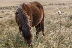 A Dartmoor pony with it`s head down grazing on the dry grass of the Dartmoor National Park, England stock images