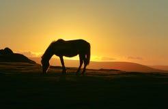 Dartmoor Pony am Sonnenuntergang Stockbild