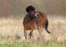 Dartmoor Pony Stock Images