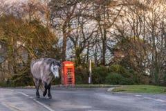 Dartmoor pony walking on road past phonebox stock images