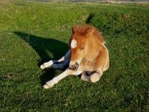 Dartmoor-Pony, welches die Sonne genießt Lizenzfreie Stockfotografie