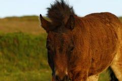Dartmoor Pony Royalty Free Stock Image
