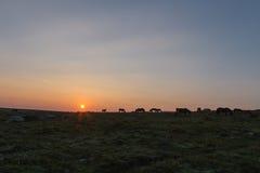 Dartmoor-Ponys bei Sonnenaufgang Lizenzfreies Stockbild