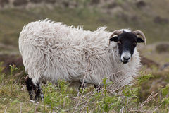 Dartmoor Sheep. Close up photo of a Scottish blackface sheep on a windy Dartmoor hillside stock photography