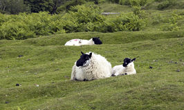 Dartmoor sheep England Royalty Free Stock Images