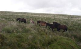 Dartmoor stoar med föl fotografering för bildbyråer