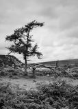 Dartmoor trees (bw, portrait mode) Royalty Free Stock Images