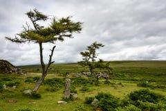 Dartmoor trees Stock Photos