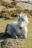 Dartmoor wild pony resting on grass Stock Photography