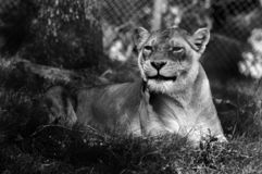 Black and white lioness. stock images
