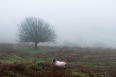 Dartmoormist Stock Foto's