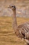 darwin меньший rhea s Стоковые Фотографии RF
