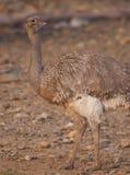 darwin меньший rhea s Стоковое фото RF