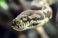 Darwin Carpet Python Morelia spilotavariegata arkivbild
