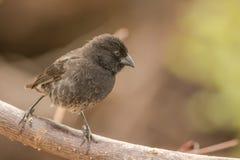 Darwin Finch Royaltyfria Bilder