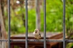 Darwin finch na wyspie Santa Cruz, Galapagos zdjęcie royalty free