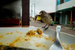 Darwin Finch på den Galapagos ön över en vit platta som äter rest av bolon Arkivfoton