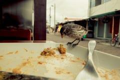 Darwin Finch på den Galapagos ön över en vit platta som äter rest av bolon Arkivfoto
