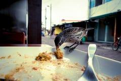 Darwin Finch på den Galapagos ön över en vit platta som äter rest av bolon Royaltyfri Fotografi