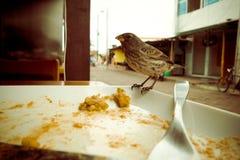Darwin Finch på den Galapagos ön över en vit platta som äter rest av bolon, tappning Royaltyfria Bilder