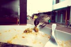 Darwin Finch på den Galapagos ön över en vit platta som äter rest av bolon, tappning Arkivbild