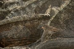 Darwin finch. This is a photograph of a darwin finch taken in the galapagos islands, Ecuador royalty free stock photo
