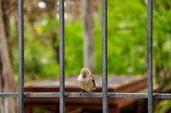 Darwin fink på ön av Santa Cruz, Galapagos royaltyfri foto