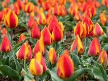 Darwin Flair Tulip amarelo vermelho fotos de stock