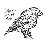 Darwin ground finch on the tree - vector illustration sketch han. D drawn with black lines, isolated on white background Royalty Free Stock Images