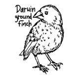 Darwin ground finch - vector illustration sketch hand drawn with. Black lines, isolated on white background Stock Images