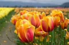 Darwin Hybrid Tulips. Field of Darwin Hybrid tulips Stock Photos