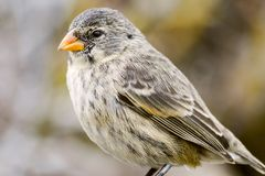 A Darwin's finch, Galapagos stock photo