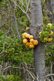 Darwins Fungus or Indian Bread (Cyttaria darwinii) Stock Photo