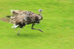 Darwin's rhea Royalty Free Stock Photography
