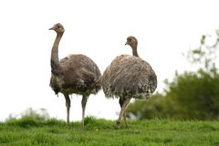 Darwin's Rhea Royalty Free Stock Images