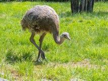Darwin's rhea (Rhea pennata) Stock Photography