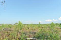 Das Ödland vom Waldbrand im Jahre 2010 wird mit Birken in Mittel-Russland überwältigt Lizenzfreie Stockfotos