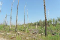 Das Ödland vom Waldbrand im Jahre 2010 wird mit Birken in Mittel-Russland überwältigt Lizenzfreie Stockfotografie